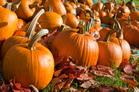 Ripe pumpkins in a field.